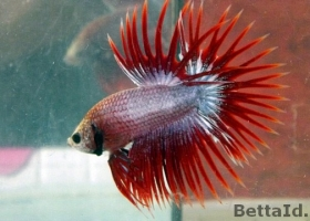 Jual Ikan Cupang Crown Tail Red Maskot CT1