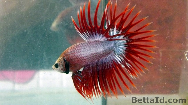 Crown Tail Red Maskot CT1