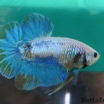 Ikan Cupang Baby Giant Yellow Grizzle BGT7