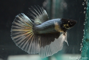 Ikan Cupang Halfmoon Copper Butterfly HM17