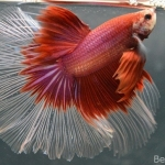 Ikan Cupang Halfmoon Red Butterfly HM19