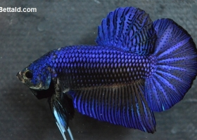 Ikan Cupang Giant Blue Lace GT18
