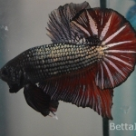 Ikan Cupang Giant Red Copper GT32