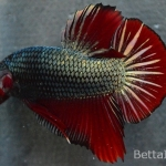 Ikan Cupang Giant Red Copper GT38